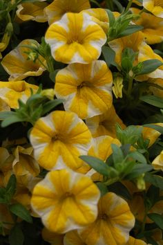 Million Bells 'Lemon Slice' Calibrachoa