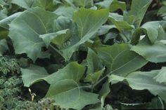 Wytnij yakon lub gruszkę Rozmnażanie Yacon u przez sadzonki zielne