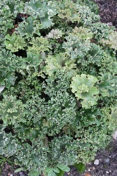 Check out this awesome plant!Farfugium japonicum 'Shishi Botan' Parsley Leopard Plant