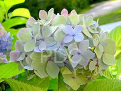 decoratingwith hydrangias   Hydrangeas Blue Growing, cutting, buying and decorating with ...