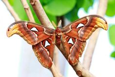 Atlas Moth - The largest moth in the world in terms of wing surface area