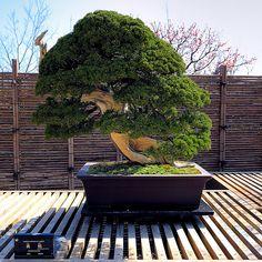Bonsai de 250 años