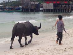 bufalo on the beach Cow, Meet, Beach, Animals, Animaux, Seaside, Animal, Animales, Animais
