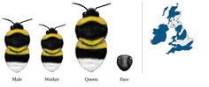 bumbble bee id Honey Bees, Nests, Bee Keeping, Conservation, Trust, Tattoo Designs, British, Pretty, Animals