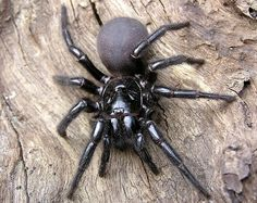 australian funnel web spider - beautiful but deadly