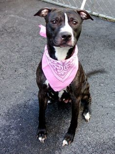 Meet ROXY a Petfinder adoptable Pit Bull Terrier Dog | New York, NY | A volunteer writes: Roxy, the Mother and the Nanny� Roxy has had her share of litters and has...