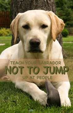 No more jumping up! How to teach your Lab not to jump at people but to greet them politely
