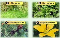 Educación en píldoras: Reproducción sexual de la plantas: Musgos, helechos, gimnospermas y angiospermas
