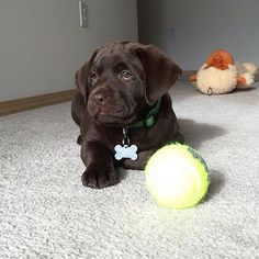 It's puppy love day! Wait maybe that is everyday. Congratulations Guinness / @guinness_the_chocolate_lab you are the Labrador of the Day.   Interested in a feature? Follow @labradoroftheday and tag pictures with #labradoroftheday and you may be selected as either Labrador of the Day or a newsworthy feature.  by labradoroftheday