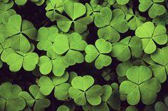 #lucky #clover