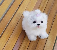 Cute White Tea Cup Maltese