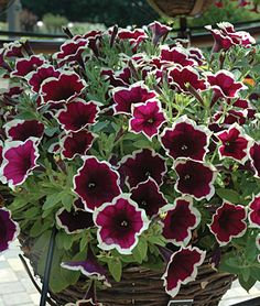 "Petunia, Cascadia Rim Magenta Knock-out new bicolor—dark purple blooms with a cream edge—makes a pretty cascading splash in the border, basket or container. Flowering prolifically from early summer to the first frost, vigorous 10-16"" tall mounding plants are standouts for heat and drought tolerance. Full sun. LifeCycle: Annual  Uses: Beds, Borders  Sun: Full Sun, Part Sun  Height: 10-16  inches Spread: 16-20  inches Sowing Method: Indoor Sow  Bloom Duration: 12  weeks"