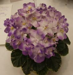 African violet 'Plumberry Glow'