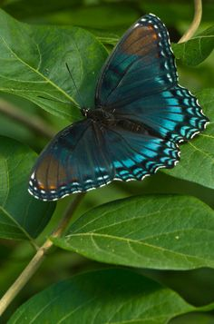 Turquoise Blue butterfly