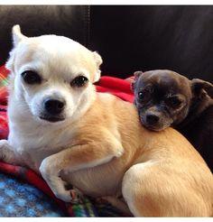 My 2 favorite Chihuahuas