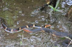 Snakes-Broad-banded water snake-Houston Arboretum & Nature Center-Momma and baby? just love their bright colors!