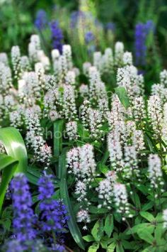 Tiarella cordifolia 'Spring Symphony' (Foam flower)