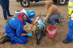 Beached dolphin rescued in 'rare feat' on Welsh beach