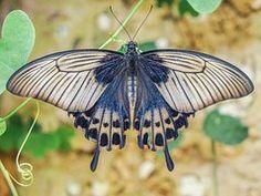 Papillon, Ailes, Ailes De Papillon