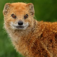 Yellow Mongoose by Alan Hinchliffe