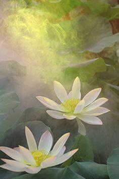 Lotus Flower Paintings / images using Akvis Oil Paint Filter Flower Painting Images, Lotus Flower Images, Lotus Painting, Oil Painting Flowers, Flower Art, Lotus Flowers, Paint Filter, Special Wallpaper, Water Lilies