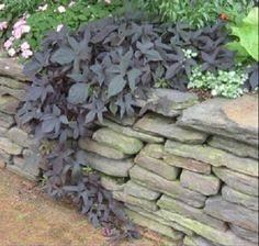 IPOMOEA  SWEET POTATO VINE BLACKIE PLANT 1 CUTTING Fast-Growing vine/Groundcover #IPOMOEABATATASSWEETPOTATOVINE