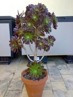 Aeonium Arboreum Atropurpureum : Cactus y Suculentas de Amanecer