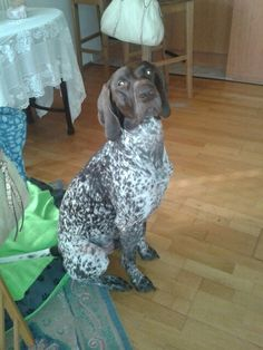 Waiting for something. German Shorthaired Pointer, This Is Us, Waiting, Dogs, Animals, Animales, Animaux, Pet Dogs, Doggies