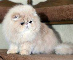 Caring for your Persian cats need not be as regal as they seem to be. Cute Little Kittens, Cute Cats And Dogs, Kittens Cutest, Cats And Kittens, Pretty Cats, Beautiful Cats, Cute Baby Animals, Animals And Pets, Animal Memes Clean