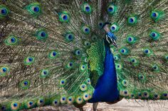 Check out Peacock by S. Rochelle on Creative Market