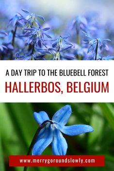 Your guide to visiting the Bluebell forest in Belgium: Hallerbos near Brussels. All the information about how to get to Hallerbos, when to visit bluebell forest and more. A great idea for a day trip from Brussels, Belgium. Backpacking Europe, Europe Travel Guide, France Travel, Travel Guides, Traveling Europe, Travel List, Travel Abroad, Europe Destinations, European Vacation