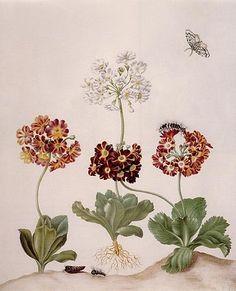 art_links: Anna Maria Sibylla Merian(1647-1717) Часть 2.