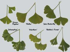 Motif Floral, Arte Floral, Maidenhair Tree, Ginkgo, Leaf Art, Easy Garden, Horticulture, Planting Flowers, Plant Leaves