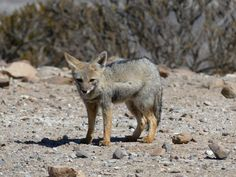 GALLERY | Whale Watching Chile South American gray fox Grey Fox, Gray, Whale Watching, Kangaroo, Chile, Wildlife, American, Gallery, Animals
