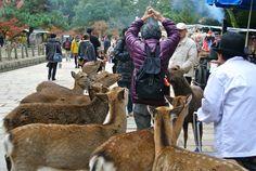 Sika Deer Nara Japan