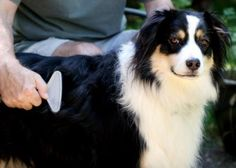 8 Natural Ways to Combat Dry Itchy Skin in Dogs Itchy Dog, Mini Australian Shepherds, Charming Eyes, Best Dog Breeds, Pet Grooming, Dog Life, Coat, Your Dog, Brushing