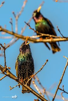 Common Starling pair by Maurizio Di Renzo on Common Starling, Birds, Fancy, Animals, Collection, Animales, Animaux, Bird, Animal