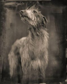 View Bog Dog by Keith Carter on artnet. Browse more artworks Keith Carter from Stephen L. Funny Dogs, Cute Dogs, Scottish Deerhound, Irish Wolfhounds, Wolfhound Dog, Gato Animal, Sphinx, Lurcher, Dogs Of The World