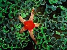 Necklace Sea Star  Photograph by Wolcott Henry    A necklace sea star nestles among the C-shaped emerald tentacles of anchor coral in the western Pacific Ocean.