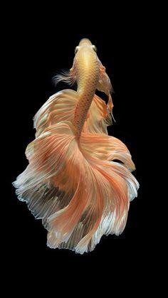 iphone 6s black fish gold wallpaper ios9