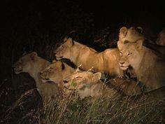 On Track Safari News: Night Drives