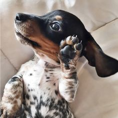 Tu perro, ¿es zurdo o diestro?