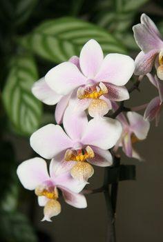 Phal Schilleriana X Stuartiana | Phalaenopsis schilleriana x Phal. stuartiana » Pflanzenblog