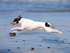 Rat Terrier .. that greyhound blood line is so evident as this rattie sails through the air.