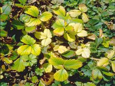 Strawberry plant leaves show Iron deficiency.