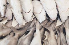 UAE acts to stop #shark-finning in Middle East | GulfNews.com  Largest fin exports come from the UAE- good news!