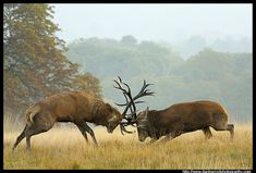 Red Deer Stags - 2 by Dan Harrod, via Flickr. The deer rut is time to capture the stags fighting