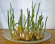 Cultivar ajos When garlic begins to sprout, you can put them in a glass with a little water and grow garlic sprouts. The sprouts have a mild flavor than garlic and can be added to salads, pasta and other dishes