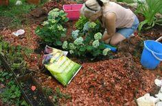 Ako pestovať hortenziu a kedy bude kvitnúť na modro? Bude, Hydrangea, Gardening, Vegetables, Plants, Lawn And Garden, Hydrangeas, Vegetable Recipes, Plant