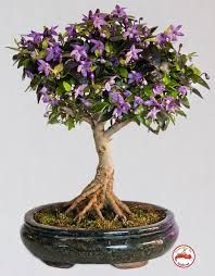 chilli plant bonsai - Penelusuran Google